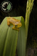 Pickersgill's Reed Frog - Hyperolius pickersgilli (Nicolauecology) Tags: endangered pickersgills reed frog hyperolius pickersgilli durban south africa amphibians herps canon laowa photography gary kyle nicolau ecology nature travels frogs