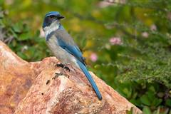 A Scrubby 2234 (maguire33@verizon.net) Tags: aphelocomacalifornica californiascrubjay losangelescountyarboretum scrubjay westernscrubjay bird wildlife arcadia california unitedstates us