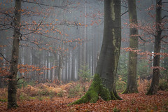 forest series #188 (Stefan A. Schmidt) Tags: forest tree trees leaf leafs germany autumn fog mist