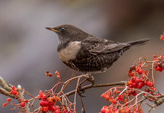 DSC9799  Ring Ouzel.. (Jeff Lack Wildlife&Nature) Tags: ringouzel ouzel ouzels birds avian animal animals wildlife wildbirds wildlifephotography jefflackphotography summermigrant blackbird thrush thrushes moorland moors mountain mountains crags countryside nature ngc npc