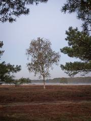 Bussumerheide 2018: Lonely tree (mdiepraam) Tags: bussumerheide 2018 bussum westerheide heath earlymorning dawn sunrise tree branch heather