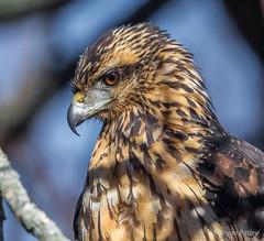 Great Black Hawk (bbatley) Tags: wildlife hawk blackhawk greatblackhawk