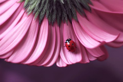 Gerbera (ElenAndreeva) Tags: ladybug insect bug flower red flowers garden summer beautiful beauty color spring light plant green sun lights nature flora macro rose floral amazing canon focus sweet cute best dream close up
