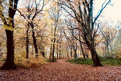 Autumns Gold (Suesue001) Tags: autumnfall autumncolours nature woods trees canon england