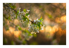 Spring Back (paulypaulpaul1) Tags: spring ecclesfield tomioka f14 wideopen autosears m42 cherryblossom sony nex6 flora bokeh oof floral blossom flower prb sheffield explored explore inexplore