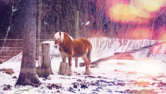 """Solitaire ... ( P-A) Tags: cheval bête règne campagne équitation écurie étable foin neige hiver froid enclos crin photos simpa© """"nikonflickraward"""""""