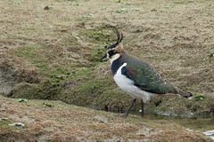 Lapwing-7D2_0350-001 (cherrytree54) Tags: lapwing rspb dungeness canon sigma 7d 150600