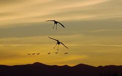 Dual Landing -- Sandhill Cranes (Grus canadensis); Ladd Gordon Waterfowl Complex, Bernado, NM [Lou Feltz] (deserttoad) Tags: bird wildbird crane waterfowl clouds nature refuge newmexico silhouette sunset desert flight
