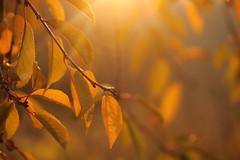 tramonto di novembre (@5imonapol) Tags: leaves tree sunset november fall foliage autumn macro bokeh bianchi