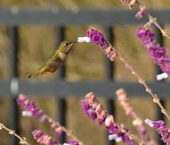 DSC_0143 (tracie7779) Tags: allenshummingbird mexicanbushsage ranchopalosverdes terranearesort bird california