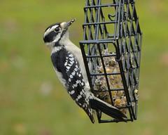 Downy Woodpecker female_Oct 31 2018 (Bob Vuxinic) Tags: bird downywoodpecker picoidespubescens female suetfeeder cumberlandplateau crossvilletennessee 31oct2018