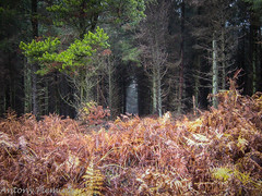 Beyond the Bracken (Antony Fleming) Tags: forest trees bracken golden autumn flassbrow plantation northyorkshire