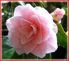Pink Camelia (ERIK THE CAT Struggling to keep up) Tags: hyde lea staffordshire flowers camelia ngc npc doublefantasy