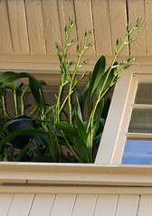 Zygopetalum maculatum species orchid spikes coming out from porch window 10-18 (nolehace) Tags: zygopetalum species orchid spikes porch window 1018 fall nolehace sanfranciso fz1000 flower bloom plant