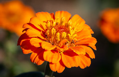 Flower (LuckyMeyer) Tags: flower fleur orange sun light garden blume blüte makro