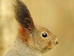 Red Squirrel (Sciurus vulgaris) (eerokiuru) Tags: redsquirrel sciurusvulgaris eichhörnchen orav closeup portrait animal p900 nikoncoolpixp900