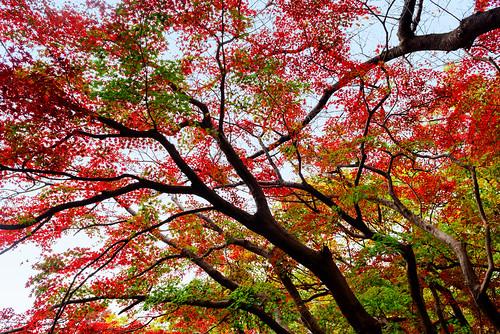 Autumn Leaves in Todoroki Valley Park : 等々力渓谷公園の紅葉
