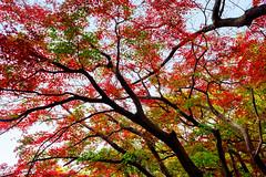 Autumn Leaves in Todoroki Valley Park : 等々力渓谷公園の紅葉 (Dakiny) Tags: 2018 winter december japan tokyo setagaya todoroki nature landscape park valleytodorokivalleypark street plant tree maple autumnleaves nikon d750