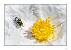 Valle de las Lágrimas (V- strom) Tags: macros macrophotography macrofotografía macrodeflora macrodefauna amarillo yelow flor flower mosca fly blanco white estambres stamens pétalos petals verde green homenaje homage nikon nikond700 nikon105mm texturas textures insecto insect recuerdo memory