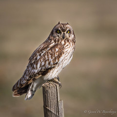 Short-eared Owl (Turk Images) Tags: asioflammeus shortearedowl alberta birds hanna owls seow strigidae