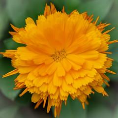 Orange Flower (billcoo) Tags: fujinon fujifilm xt2 bokeh macro plant xf80mm