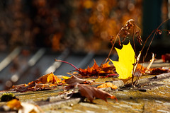 Autumnal Leaves (MarkusR.) Tags: d722745 mrieder markusrieder stuttgart germany wilhelma zoologischergarten zoo park botanischergarten zoologicalgarden botanicalgarden nikon d7200 nikond7200 herbst fall autumn leaves blätter
