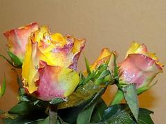 Rose mit Glitter (Gartenzauber) Tags: floralfantasy