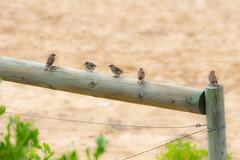 Sparrows at the Beach (Merrillie) Tags: sand nature australia birds sparrow newsouthwales uminabeach beach wildlife umina wild coastal fiveofakind outdoors animals fauna centralcoast five housesparrow