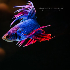 RED BLUE CROWTAIL BETTA (alfianhashim) Tags: animal red colorful betta background white beautiful siamese blue nature domestic tail fish motion aggressive pet tropical color aquatic aquarium art isolated power exotic dress luxury beauty dragon space elegant action thailand black freshwater biology swimming scale splendens fancy fighting flame path love couple crow double halfmoon clipping water macro
