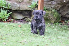 Three (1) (AlmostHome_Dog) Tags: almost home dog rescue north wales puppy puppies pup pups westie yorkie west highland terrier yorkshire