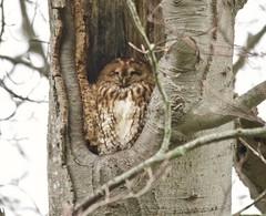 Sleeping Tawny (Alan McCluskie) Tags: tawnyowl owl birdofprey owls tree owlintreetrunk nature wildlife woods bird aves oiseaux