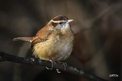 Carolina Wren (jt893x) Tags: 150600mm bird carolinawren d500 jt893x nikon nikond500 sigma sigma150600mmf563dgoshsms songbird thrythorusludovicianus wren thesunshinegroup alittlebeauty coth coth5 sunrays5