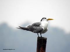 DSCN5023 Greater Crested Tern (Thalasseus bergii) (vlupadya) Tags: greatnature animal aves fauna indianbirds greater crested tern thalasseus kundapura karnataka