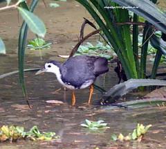 DSCN4927 White-breasted Waterhen (Amaurornis phoenicurus) (vlupadya) Tags: greatnature animal aves fauna indianbirds whitebreasted waterhen amaurornis kundapura karnataka