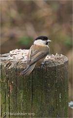 Willow Tit (Huddsbirder) Tags: huddsbirder willowtit fairburnings sony a6500 fe70300mm