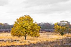 Autumn Tree (j.a.vink) Tags: netherlands autumn heath tree 1855 fujifilm1855mm fujifilmxt2 fujifilm