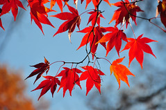 branch dancers (christiaan_25) Tags: japanesemaple acerpalmatum leaves leaf tree woods forest backlit red crimson scarlet bokeh autumn fall sunlight sunshine light shadow bright dark alive transition change season mortonarboretum plant foliage outdoor depthoffield irohamomiji momiji イロハモミジ explore nov92018 328