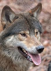 european wolf Ouwehands 094A0762 (j.a.kok) Tags: animal mammal zoogdier dier predator ouwehands wolf europe europa europeanwolf europesewolf