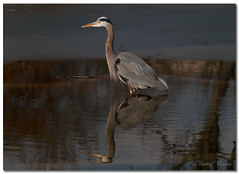 Great Blue Heron (Betty Vlasiu) Tags: great blue heron bird nature wildlife ardea herodias