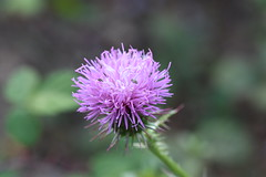 Cardo (esta_ahi) Tags: olèrdola cardo flor flora flores silvestres compositae asteraceae pink penedès barcelona spain españa испания