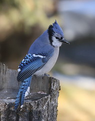 IMG_0643 Geai bleu, Roberval (joro5072) Tags: animal nature oiseau bird jay geai