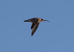 Curlew (Liam Waddell) Tags: curlew bird long beak sky blue bogside sssi irvine ayrshire scotland