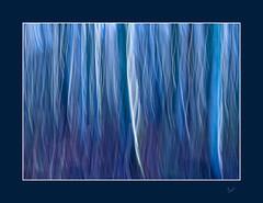 Feeling Blue (After-the-Rain) Tags: icm intentionalcameramovement tungstenbalance birchwood warwickmoorwood blue january2019 ©joanthirlaway cumbria trees wood colours
