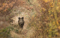 Le golgoth II (Eric Penet) Tags: mormal avesnois nature wildlife wild france faune forêt locquignol nord novembre automne sanglier boar sauvage animal suidé sus scrofa mâle solitaire mammifère mammal