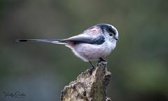 Long tailed tit. (vickyouten) Tags: longtailedtit nature wildlife britishwildlife wildlifephotography nikon nikond7200 nikonphotography nikkor55300mm penningtonflash leigh uk vickyouten