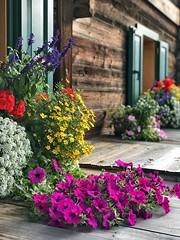 Fleurs et bois (Jolivillage) Tags: jolivillage sappada fleurs flowers fiori village borgo pueblo friuli veneto italie italia italy europe europa chalet bois wood legno picturesque geotagged