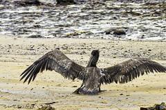 20181112.80D.159-Edit (Scott Sanford Photography) Tags: 80d canon ef14xiii ef100400mmf4556lii eos gulfcoast naturalbeauty naturallight nature outdoor texas water wildlife beach birds coast