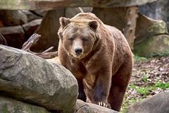 Grizzly bear (Ursus arctos) (ucumari photography) Tags: ucumariphotography nc north carolina zoo january 2019 animal mammal grizzly bear brown ursusarctos dsc4971 specanimal