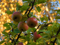 apples (cloversun19) Tags: rain animal field grass landscape branches leafs foliage sky russia russian spb tree walking country willage holiday holidays park garden dream dreams positive forest happy view grey legend fairytale fir firtree birch village evening apples apple romantic october september car road street blue maple leaves town city light sun yellow autumn trees