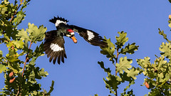 Acorn Woodpecker (Gary R Rogers) Tags: bird acorn tree flight acornwoodpecker